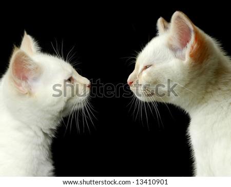 two off-white kitten portraits on black - stock photo