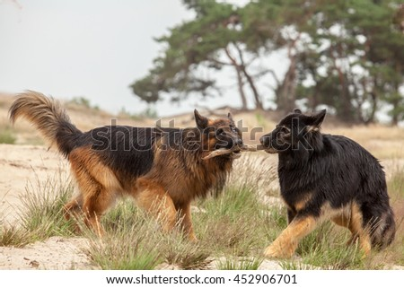 Two Old German Shepherd Dogs fighting for a wooden branch - stock photo