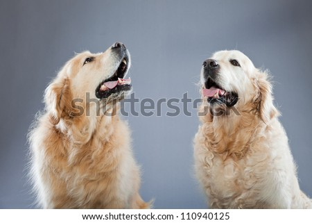 Two old golden retriever dogs together isolated on grey background. Studio shot. - stock photo