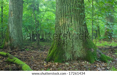 Two old oak tree partly moss wrapped at summer deciduous forest - stock photo