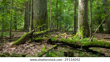 Two old oaks and dead wood in foreground, deciduous stand - stock photo