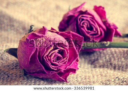 Two old roses on sackcloth background. Vintage style. - stock photo