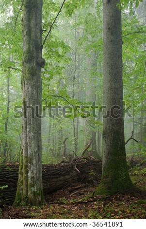 Two old trees in foreground, deciduous hornbeam and coniferous spruce standing side by side with broken oak behind them. Deciduous stand with old oak in background - stock photo