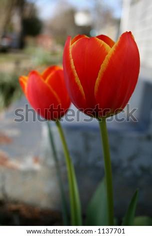 Two orange and yellow tulips - stock photo