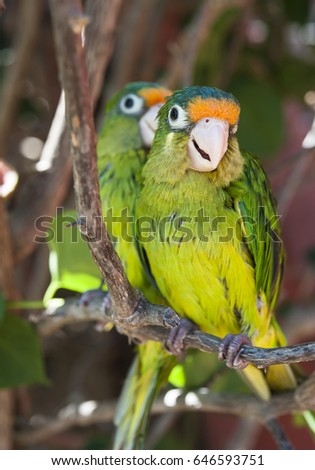 Two orange fronted parakeet birds sitting in a tree
