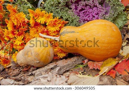 two orange pumpkins, chrysanthemums and decorative cabbage in a garden in autumn