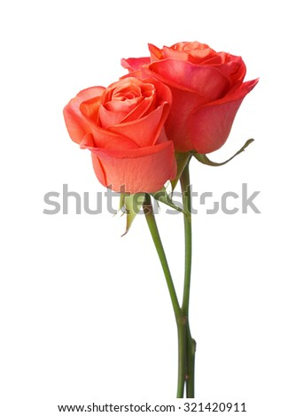 Two orange roses isolated on white - stock photo