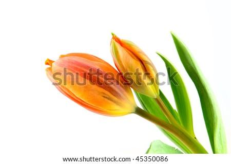 Two orange tulips isolated on white background - stock photo