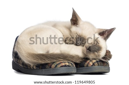 Two Oriental Shorthair kittens lying and sleeping on pair of slippers against white background - stock photo