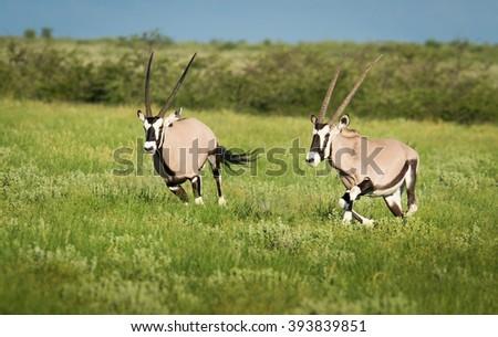 Two oryx jump on the Kalahari, Botswana - stock photo