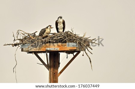 Two Osprey sit atop their nest - one dining on a freshly caught fish (tail still visible from it's beak) while it's mate stands guard. Osprey are one of the few animals believed to mate for life  - stock photo