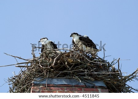 Two osprey standing in their nest looking out.