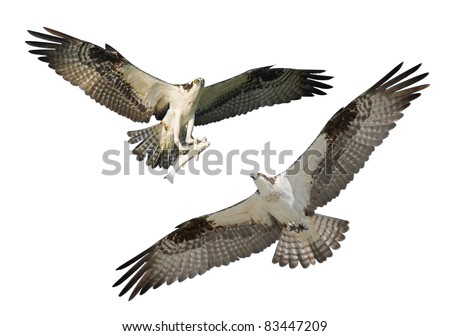 Two Ospreys in flight, isolated on white. Latin name - Pandion haliaetus.