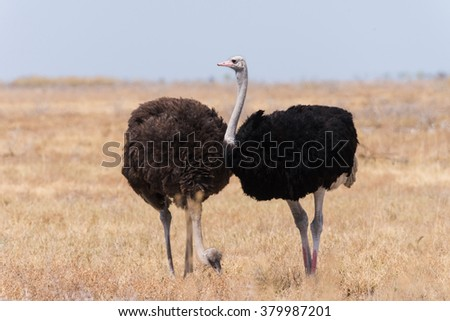 Two Ostrich (Struthio camelus) in grassland, male with red shins to attract female mate, Etosha National Park, Namibia - stock photo