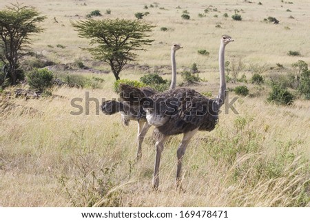 Two ostriches in National Park in Kenya