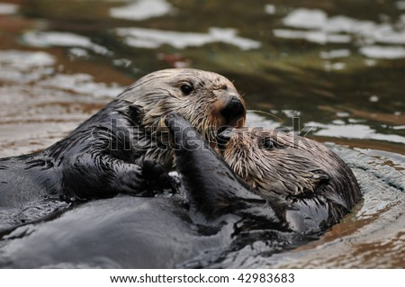 Two otters hugging and playing in water - stock photo
