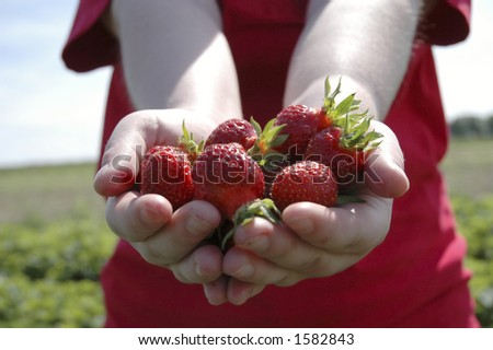 Two outstretched hands holding a bunch of ripe strawberries. - stock photo