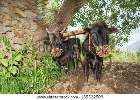 Two oxen plowing in Indian Himalaya mountains - stock photo