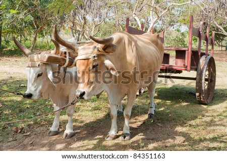 Two oxen used as a means of transport pulling a cart in Cuba. - stock photo
