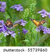 Two Painted Lady butterflies (Vanessa cardui) in a field of wild verbena - stock photo
