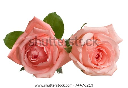 two  pale rose. very shallow depth of field - stock photo