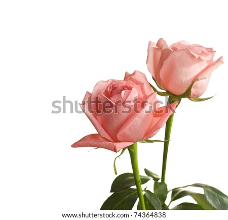 two pale roses isolated on white - stock photo