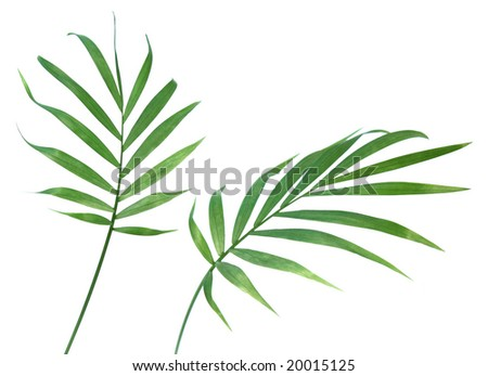 Two palm plant leaves isolated on pure white. - stock photo