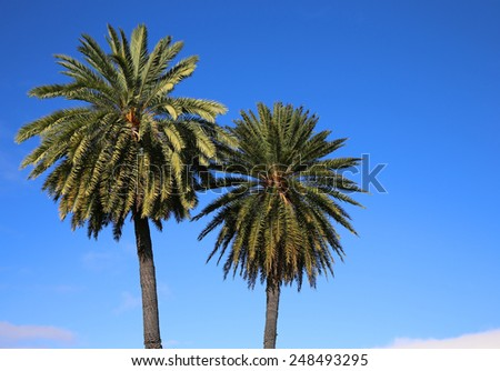 Two palm trees on blue sky - Hawaii - stock photo