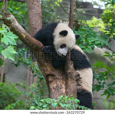 Two panda bears playing in tree - stock photo
