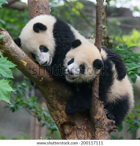 Two panda friends in tree - stock photo
