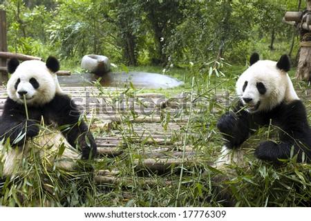 two pandas feeding - stock photo