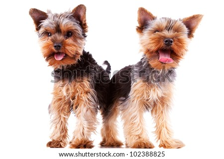 two panting yorkshire puppy dogs with their tongue exposed, standing on white background - stock photo