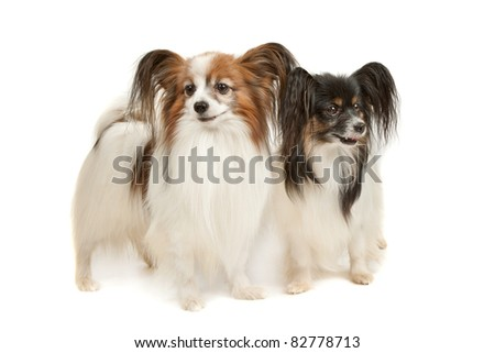 two Papillon dogs in front of a white background