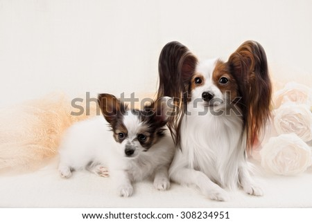 two Papillon dogs mother and her puppy in front of a white background - stock photo