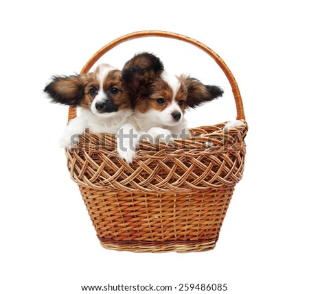 two Papillon puppies in the basket,on white  - stock photo