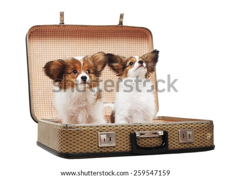two Papillon puppies in the suitcase, isolated on white background - stock photo