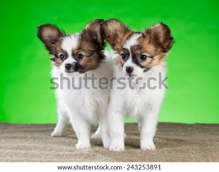 Two Papillon puppies standing on a green background - stock photo