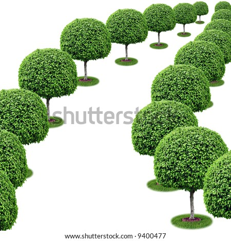 Two parallel rows of trees appear to converge into a vanishing point - isolated [ficus benjamina]. - stock photo