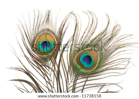 Two peacock plumes close up