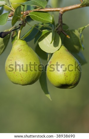 Two pears hanging on tree from limb - stock photo