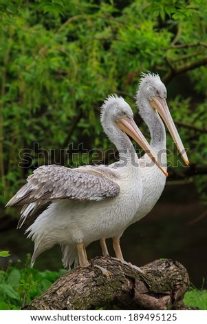 two pelicans - stock photo