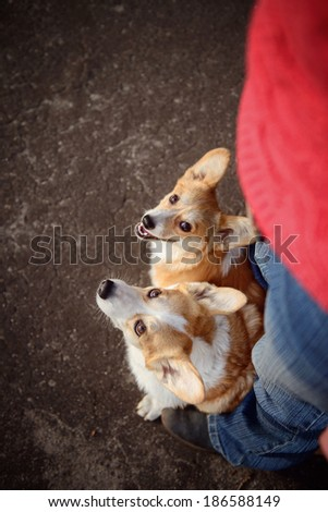 Two Pembroke corgi between the legs - stock photo