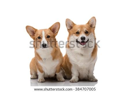 Two pembroke welsh corgi female and male posing on white background - stock photo