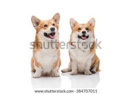 Two pembroke welsh corgi males posing on white background smiling - stock photo