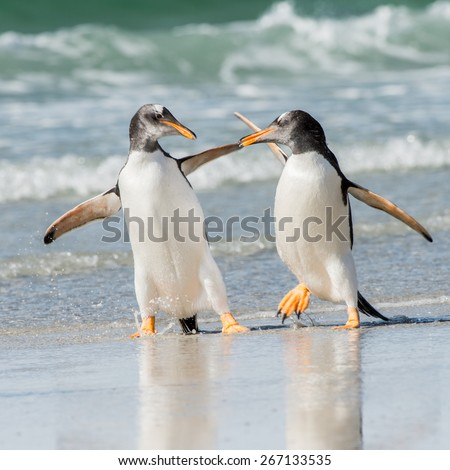 Two penguin hug each other and walk - stock photo