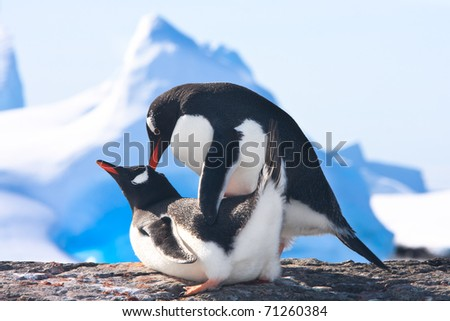 Two penguins make love on a rock, glaciers in the background - stock photo