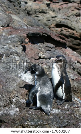 Two penguins march along the rocky bluff on the galapagos islands - stock photo