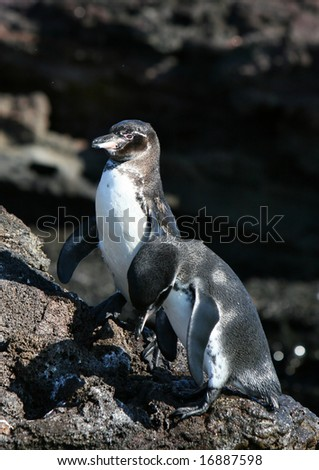 Two penguins resting on the rocks in the galapagos islands of ecuador - stock photo