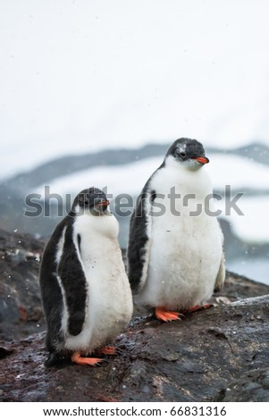 two penguins resting on the stony coast of Antarctica