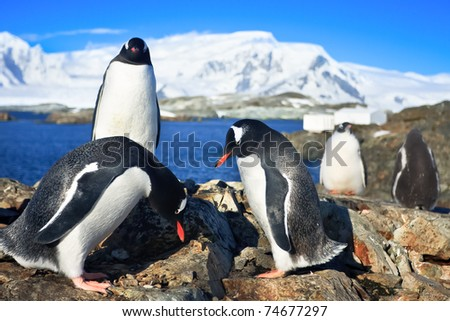 two penguins resting on the stony coast of Antarctica - stock photo